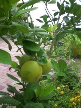 De eerste sinasappels in de boom, nog even doorrijpen en dan smullen maar.