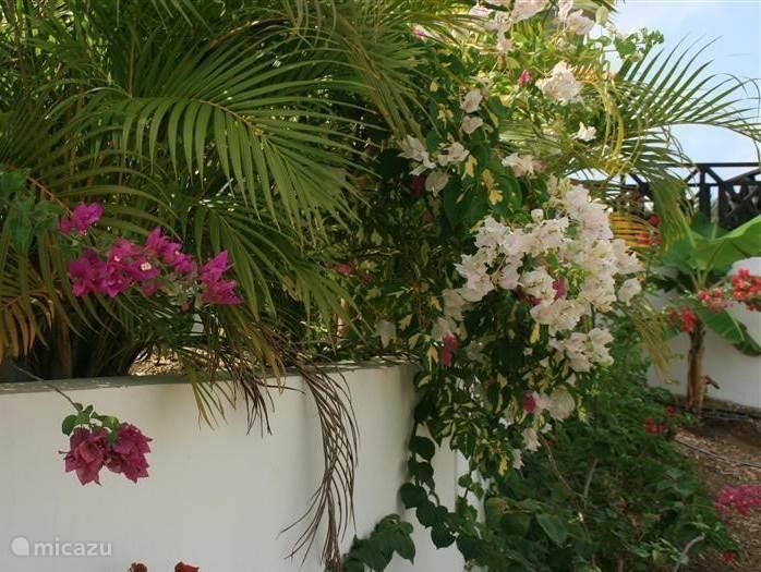 de bourgainville bloemen zee over de terras muur