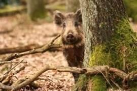 Er is veel wild rondom en op het park. Dit everzwijn hoort bij een grote grote die regelamtig op het terrein komt.