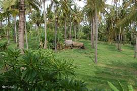the coconut forest behind the house