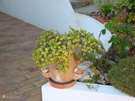 Een van de vele vetplanten in potten bij de patio
