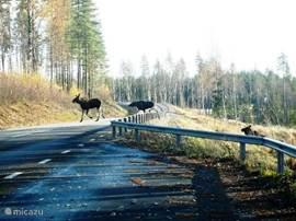 Elanden steken de weg naar Sorby over.