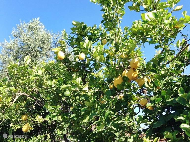 Citroenbomen in de tuin