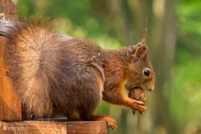 Dit is onze huis-eekhoorn
