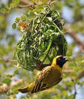 wever vogel in een boom in de tuin van het vakantiehuis