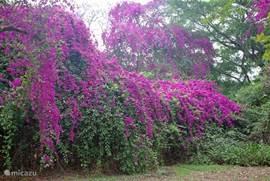 bougainville in de tropische tuin