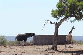 olifant en giraffe bij drinkplaats in Krugerpark