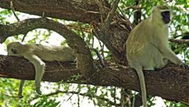 Apen in Krugerpark
