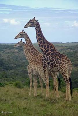 giraffen in Krugerpark