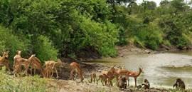 impala's en apen bij drinkplaats in Krugerpark