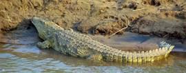 Krokodil in Olifantsrivier