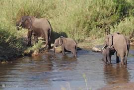Olifantenfamilie in Olifantsrivier (Krugerpark)