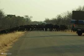 Buffeltrek in Krugerpark