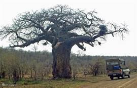 Baobab in Krugerpark
