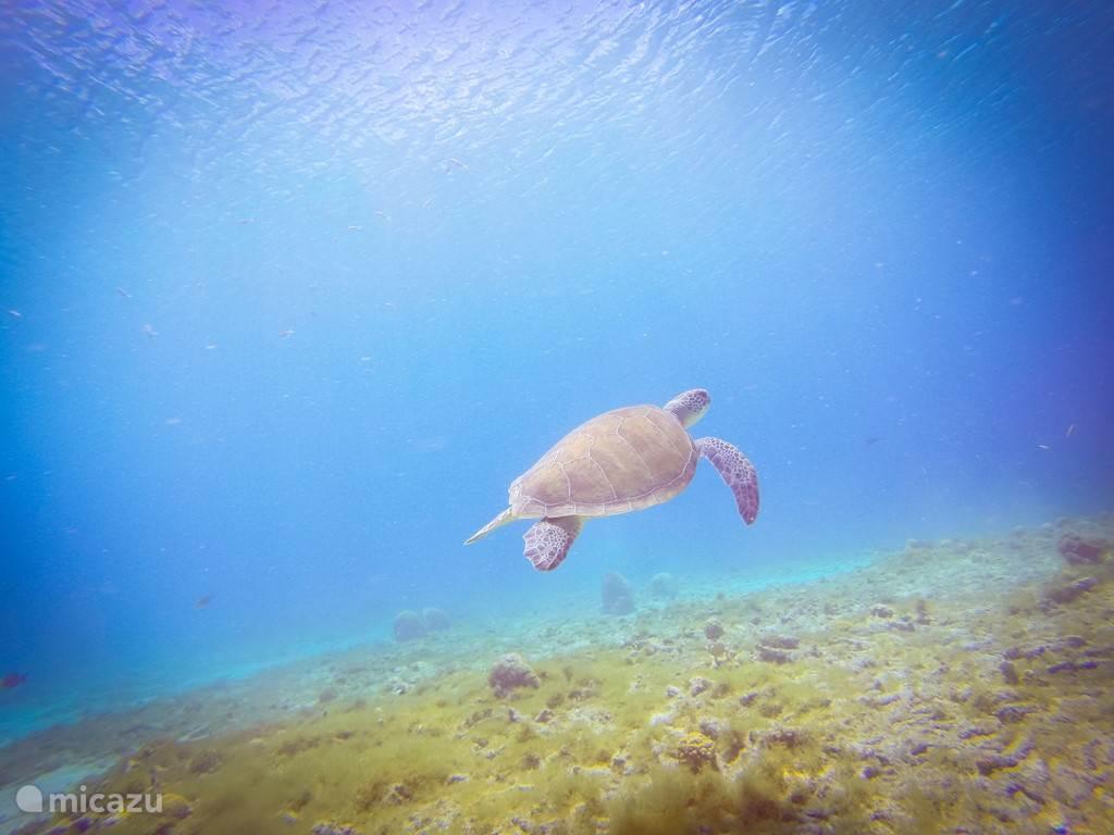 Schildpad in wateren rond Westpunt