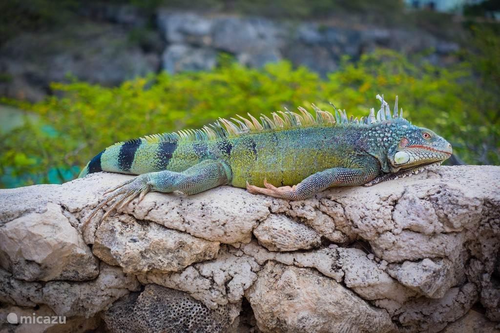 Iguana aan het zonnebaden aan zee