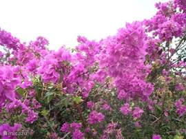 Purple bougainvillea in the gardens of Villa Caribbean View.De boubainvillea bloom throughout the year.