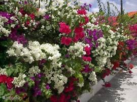 De tuin is geheel ommuurd en langs de muur hebben we tropische planten, zoals de bougainville op de foto, geplant.