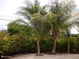 Kokospalmen.