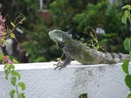 En zeer waarschijnlijk zie je onze huisleguaan af en toe op de muur zitten. Leguanen zijn ongevaarlijk en eten alleen planten en fruit. Koop ook wat vogelvoer in de supermarkt, en je ziet diverse tropische vogels bij het terras.