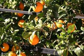 In november zijn de sinaasappels al aardig rijp aan het worden. December is de sinaasappel oogst.