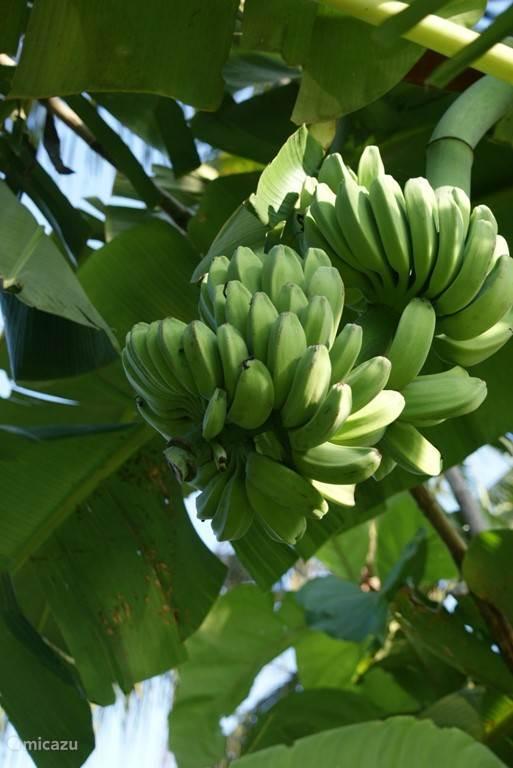 ,Bananenboom