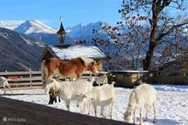 in winter are also the goats and Heidi, the horse are on the chicken court. In summer they move to the Alpine meadow.
