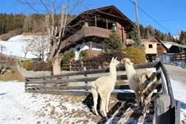 Penelope and White Girl are our new neighbors, two lovely lamas who like to greet you each morning.
