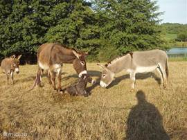 With regularity at La Maison Neuve new life was born. See this photo at the birth of a donkey foal, where both mother and father very proud.