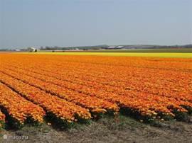 Prachtige bloembollenvelden in april en dit zijn er nog maar een paar....dit moet u beslist een keer gezien hebben