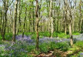 Natuurgebied het wildrijk met wilde hyacinten. Op nog geen 5 minuten lopen van het huisje.