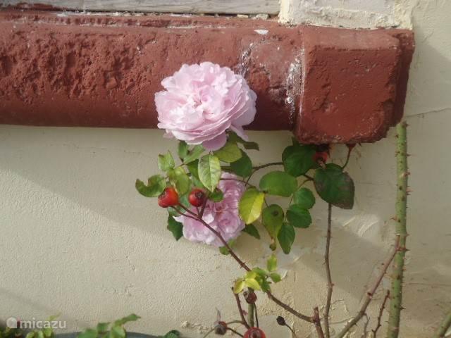 De rozen bloeien het hele jaar door.