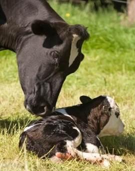 Vanuit het huisje kijkt u op de koeien van de buren - en grote kans dat u een kalfje kunt zien geboren worden!