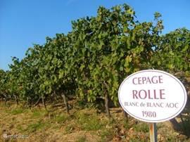 Een van de vele biologisch gekweekte wijnranken