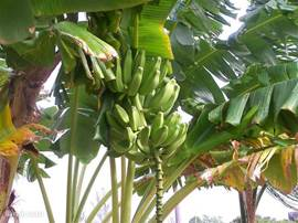 Komt u in november of december dan kunt u bananen plukken uit eigen tuin.