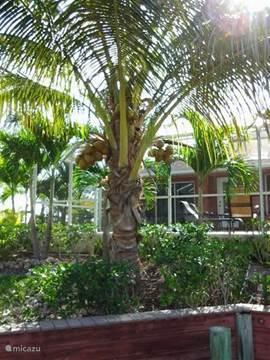 Komt u in juni of juli dan zijn de kokosnoten rijp. Zo is er altijd wat te beleven in de tuin van villa Palm Breeze. Het hele jaar rond bloeit de tuin.