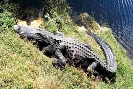 Everglades. Een dag naar Miami? Dan gaat uw reis dwars door de Everglades. Krokodillen langs de weg en heel veel mogelijkheden om de Everglades in te varen. Veel kans dat u Maimi niet haalt. Maar ook Maimi is de moeite waard om eens te bezoeken.
