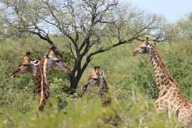 Giraffen in de achtertuin van villa Blaaskans