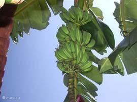 Bananen uit eigen tuin!