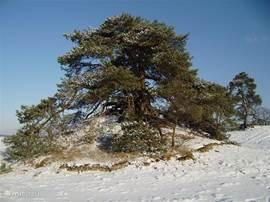 Dit is onze favoriete kerstboom. Als u hem vindt op het Hulsthorsterzand, dan krijgt u van ons een goede fles wijn. Ernaast ligt een nog onontdekt urnenveld uit de prehistorie...