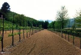 De eigen wijngaard. U kunt tijdens uw verblijf de wijn beoordelen.