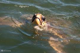 Dalyan is bekend om haar (beschermd) natuur gebied, op deze foto de grote Caretta Caretta schildpad