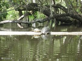 Of je huurt een kano in een van de vele natuurparken, zodat je de diverse dieren van dichtbij kunt ontmoeten, zoals deze schildpadden