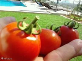 Tomaten uit eigen tuin, ze groeien spontaan!