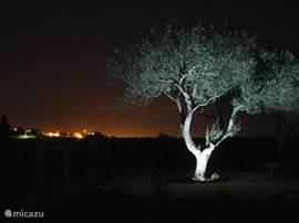 De grote olijfboom in het schaarse licht met op de achtergrond Vale da Mó, de vallei, en Pechão by night. Al u goed kijkt ziet u de watertoren en de kenmerkende, verlichte Igreja (kerk) boven op de heuvel.