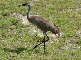 Deze kraanvogel(s) komen regelmatig langs de villa gelopen.