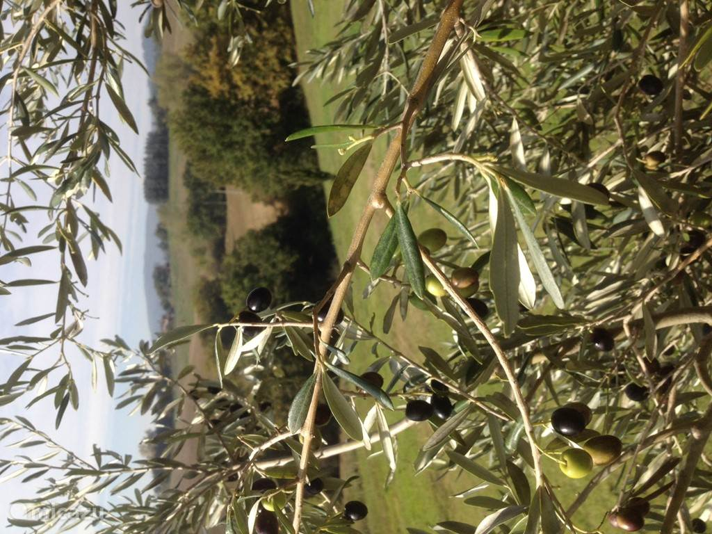 Olijven Montiollo