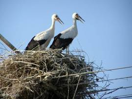 The summers are warm. Father and mother stork cool themselves by the beaks open.