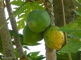Onze eigen papaya's