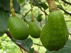 Onze eigen avocado's.